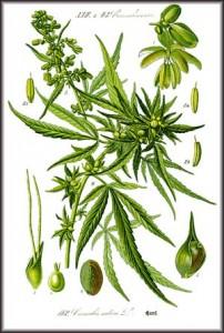 Illustration of Cannabis sativa