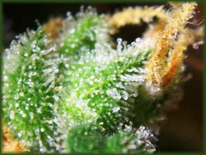Cannabis femail flowers close-up