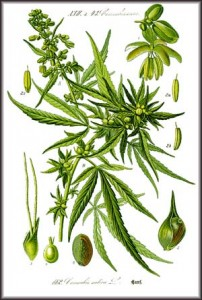 Illustration of Cannabis sativa